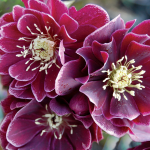 Helleborus x hybridus Winter Jewels® 'Amethyst Gem'