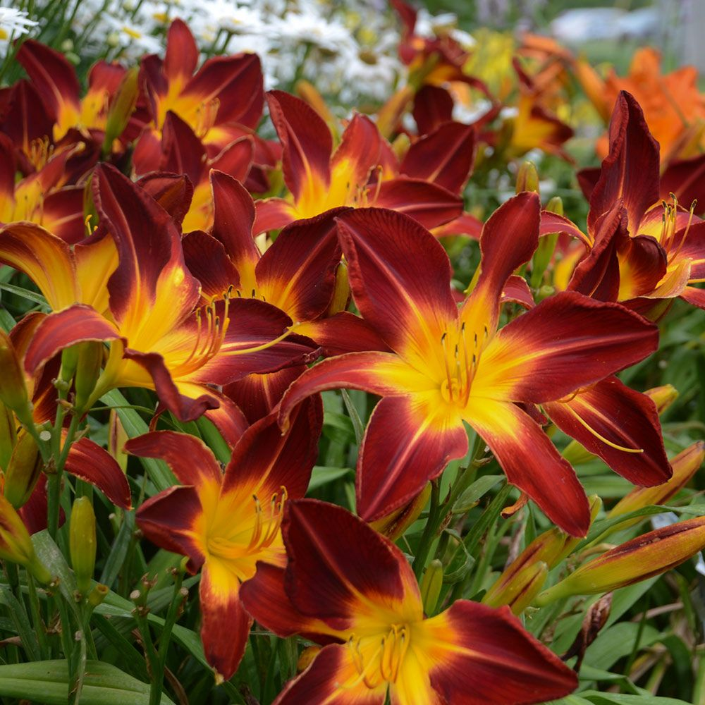 Hemerocallis (Daylily) Rainbow Rhythm® 'Ruby Spider'