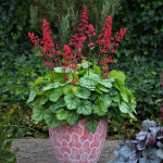 Heuchera Dolce® Appletini