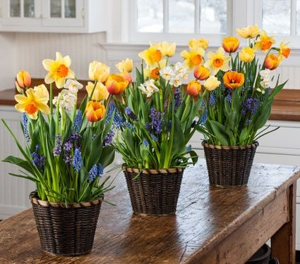 Breath of Spring Bulb Collections to 3 Addresses - Standard Shipping Included