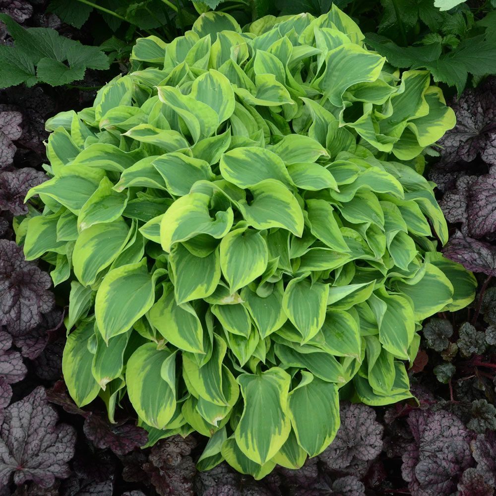 Hosta 'Wrinkle in Time'
