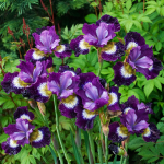 Iris sibirica 'Contrast in Styles'