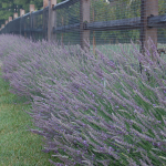 <strong>Saturday, July 1 - 10 a.m. - 11 a.m.</strong> Lavender - Growing & Craft Event