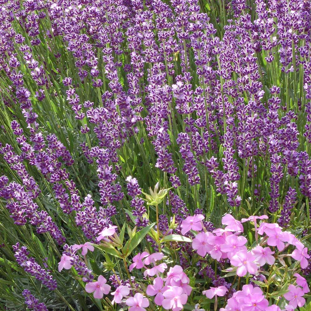 Lavender Big Time Blue (Lavandula angustifolia Big Time Blue)