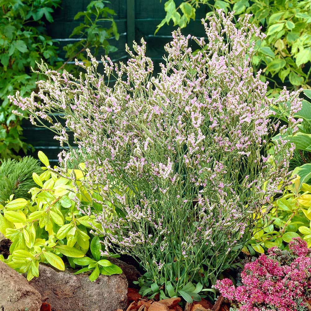 Limonium 'Blue Diamond'