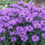 Monarda Sugar Buzz® Blue Moon