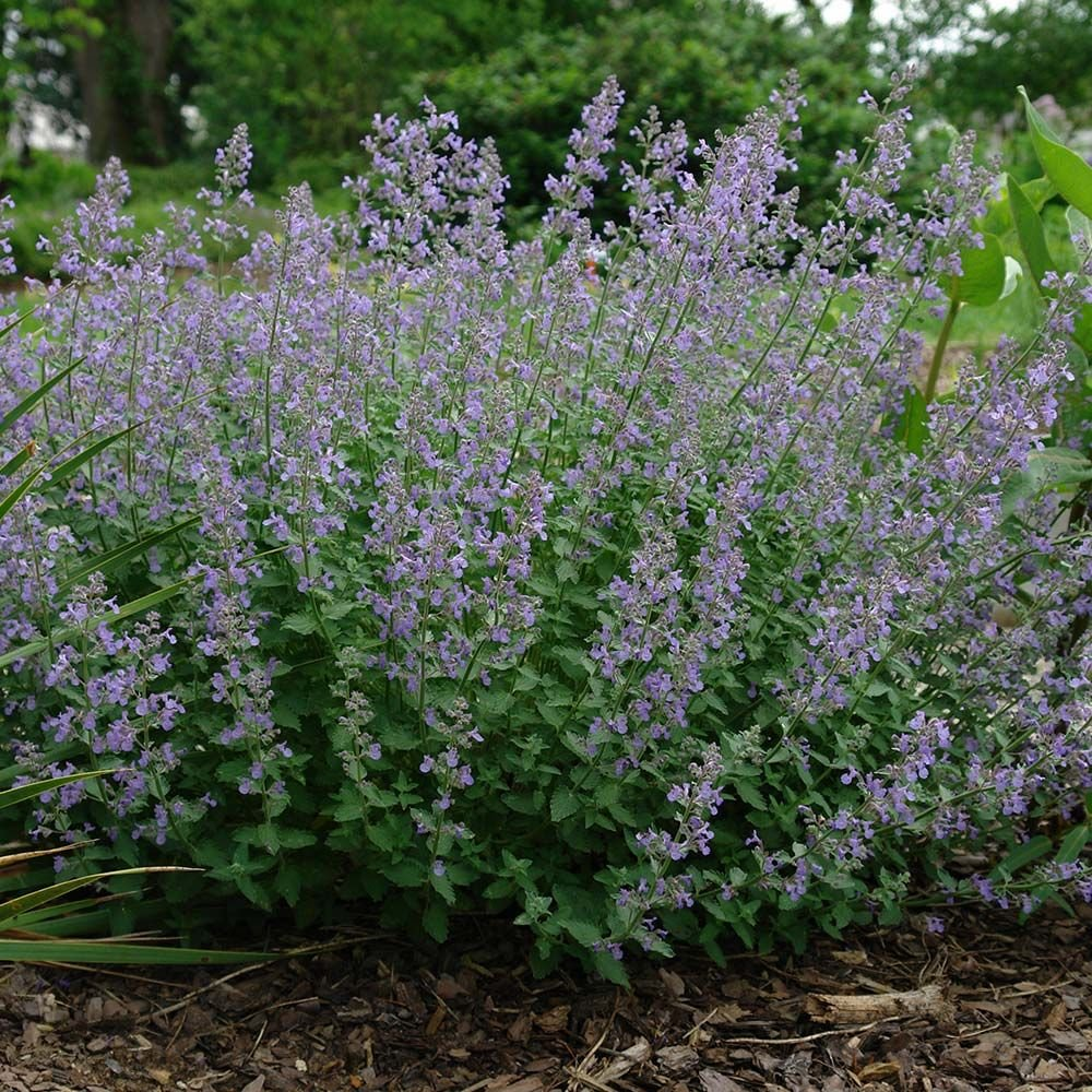 nepeta junior walker u2122