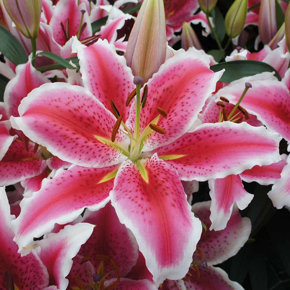 Lilium Tasman White Flower Farm