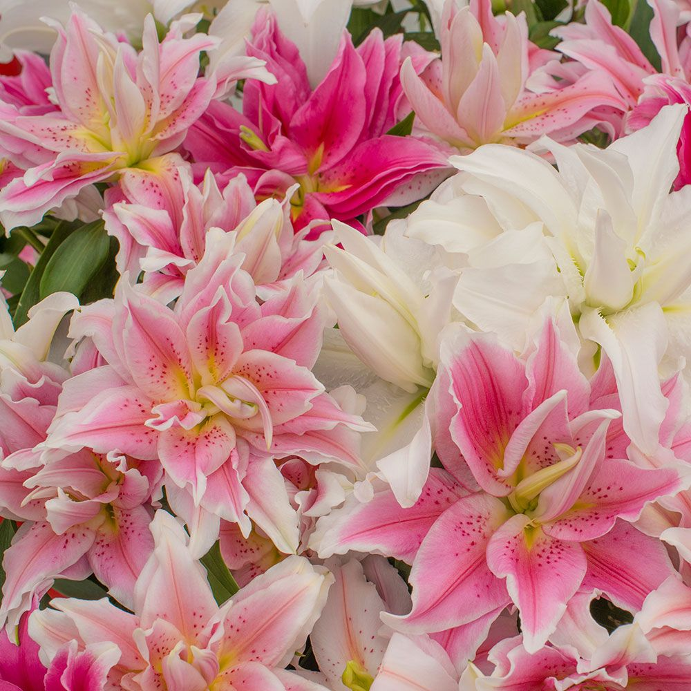 Summer Magic Roselily Mix