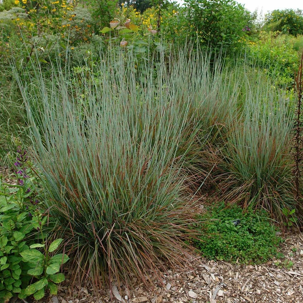 Ornamental Grass: Schizachyrium scoparium 'Standing Ovation' - 1 quart pot