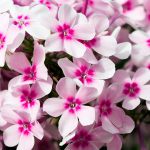 Phlox paniculata Early Start™ Light Pink