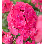 Phlox paniculata 'Watermelon Punch'