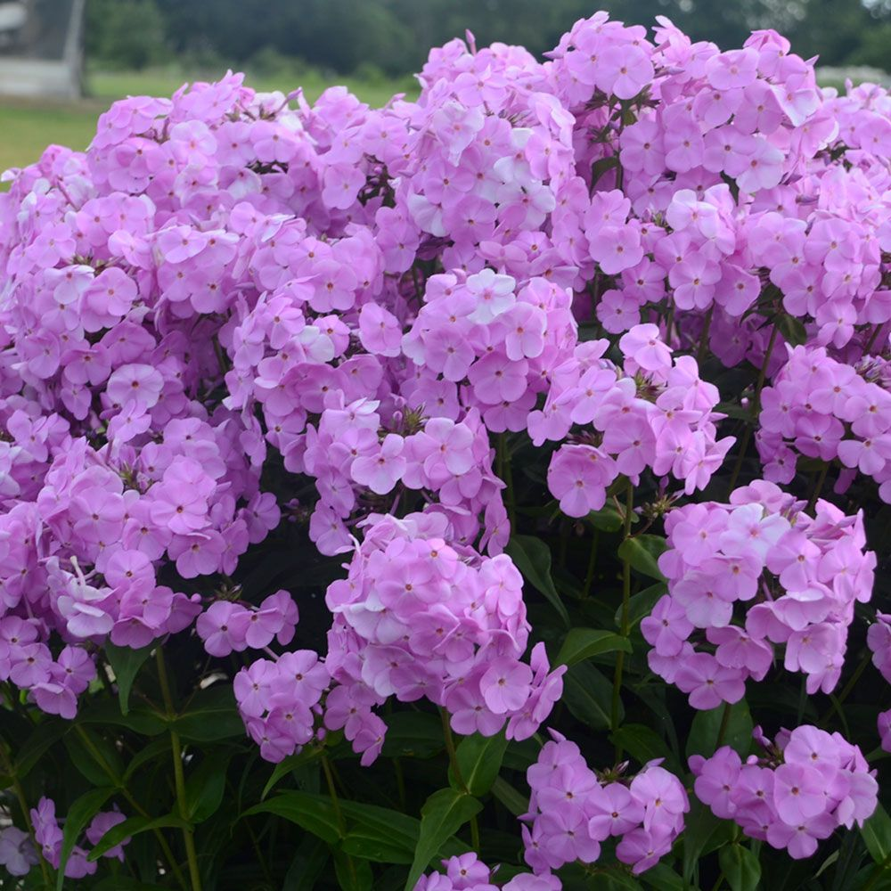 Phlox 'Fashionably Early Princess'