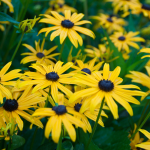Rudbeckia fulgida 'Early Bird Gold'