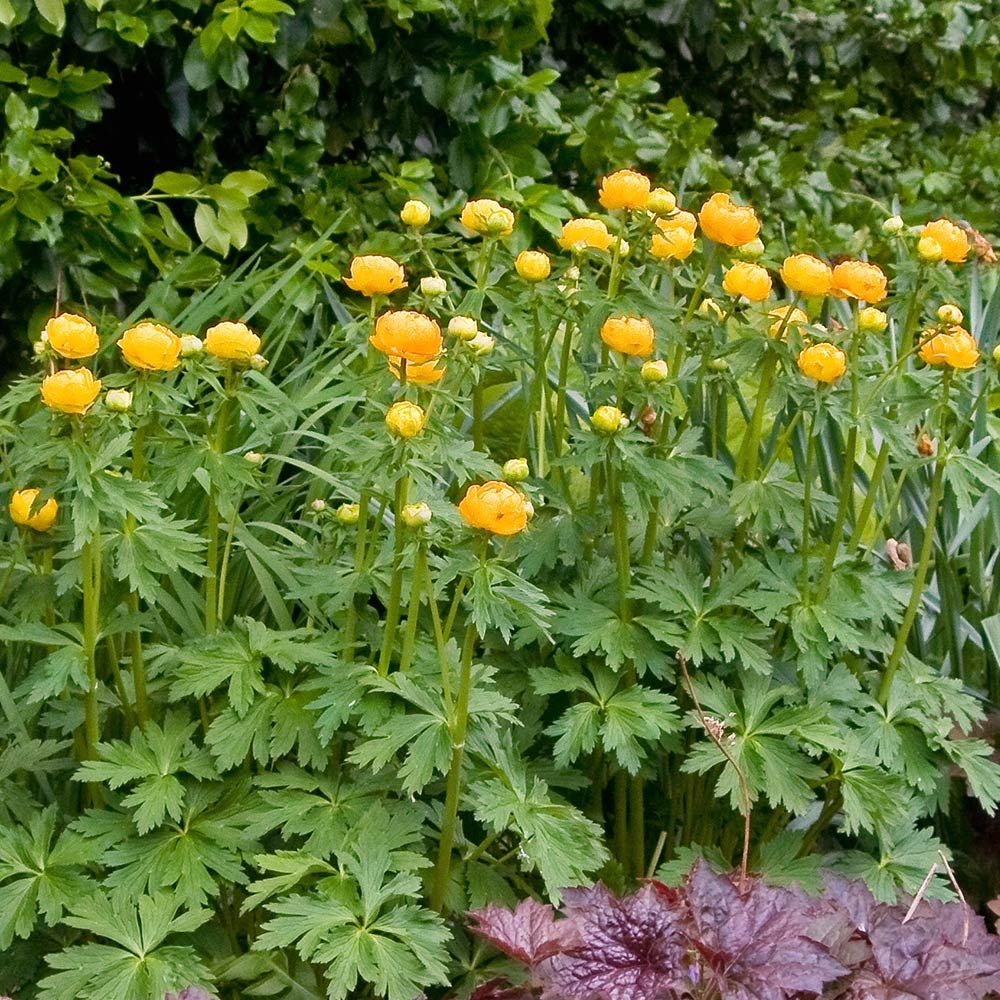 Trollius x cultorum 'Orange Princess'