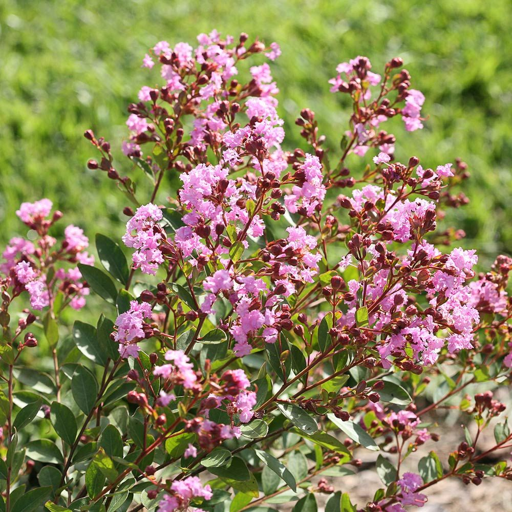 Lagerstroemia Infinitini® Orchid
