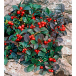 Wintergreen Gaultheria procumbens