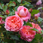 Rose Boscobel