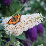 Buddleia Buzz™ Ivory