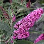 Buddleia davidii Buzz™ 'Soft Pink'