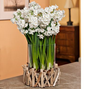 Ziva Paperwhite Kit in Driftwood Vase