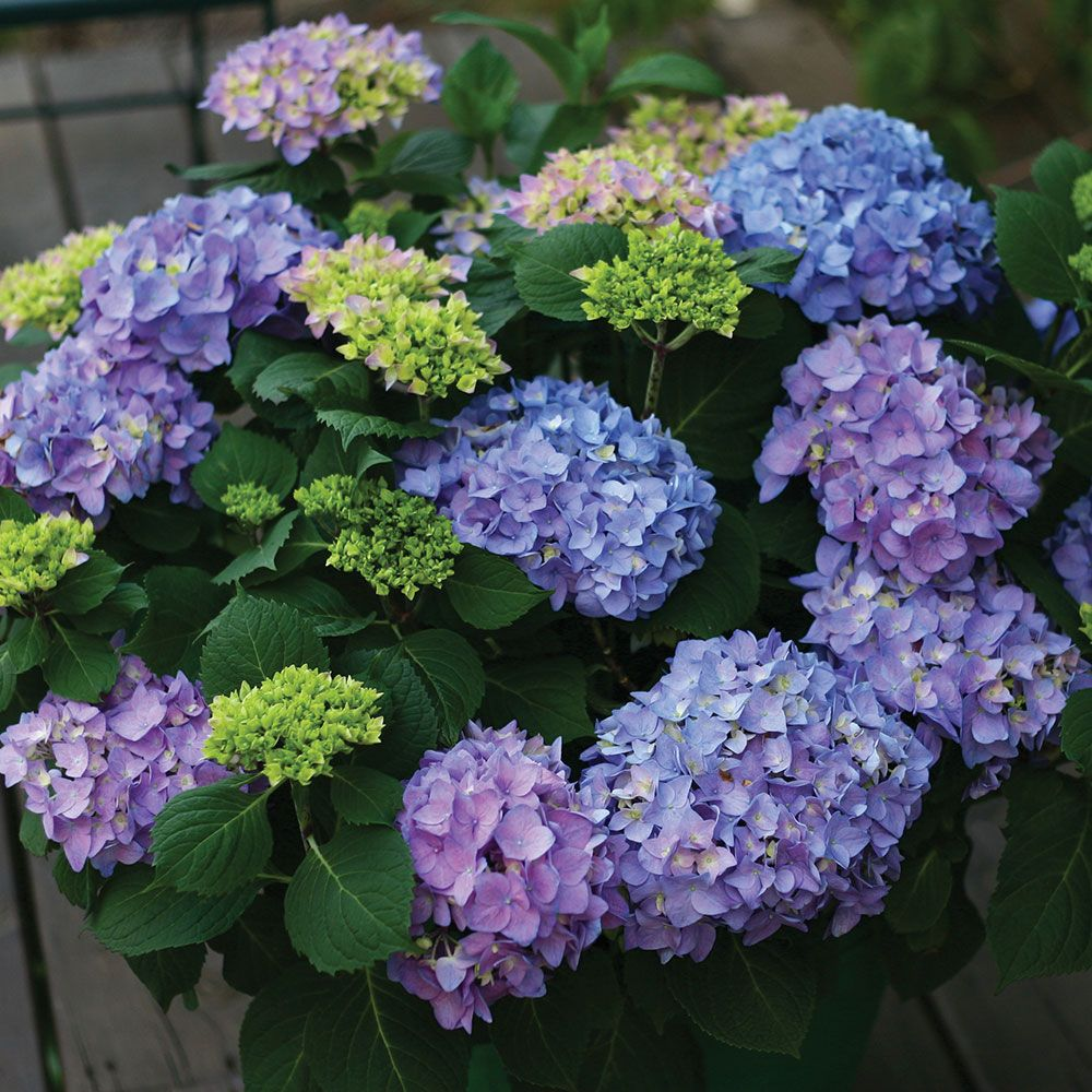 hydrangea macrophylla let 39 s dance rhythmic blue white. Black Bedroom Furniture Sets. Home Design Ideas