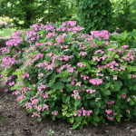 Hydrangea serrata Tuff Stuff™ Red