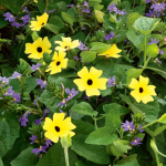Thunbergia alata Sunny™ 'Lemon Star'