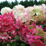 <strong>Saturday, June 16 - 12:00 p.m.</strong> Hydrangea Talk & Lunch in the Garden