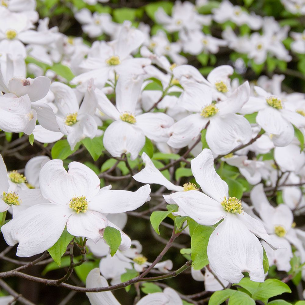 Cornus florida appalachian spring white flower farm mightylinksfo