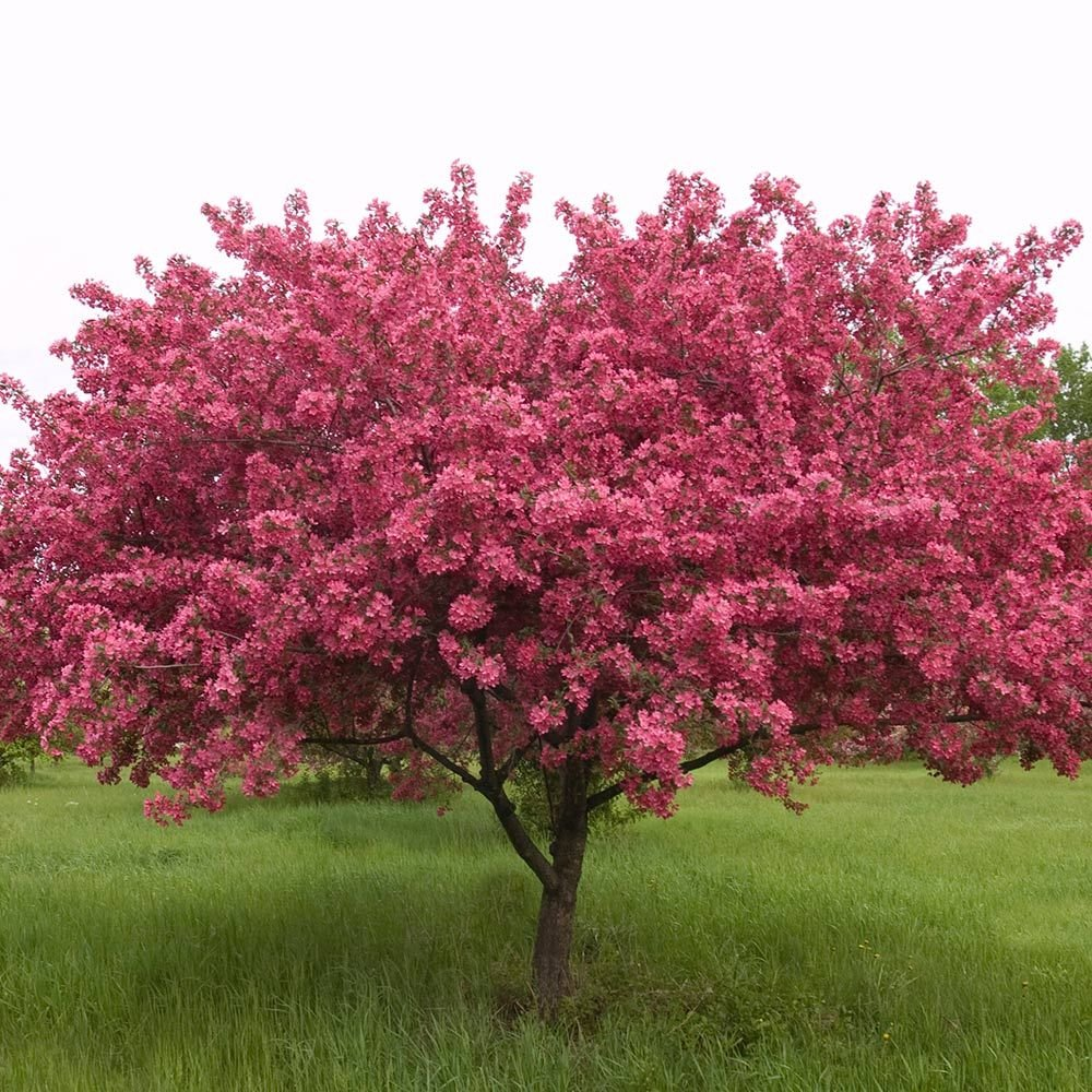 Malus prairifire white flower farm for Crabapple tree