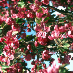 Malus Red Barron