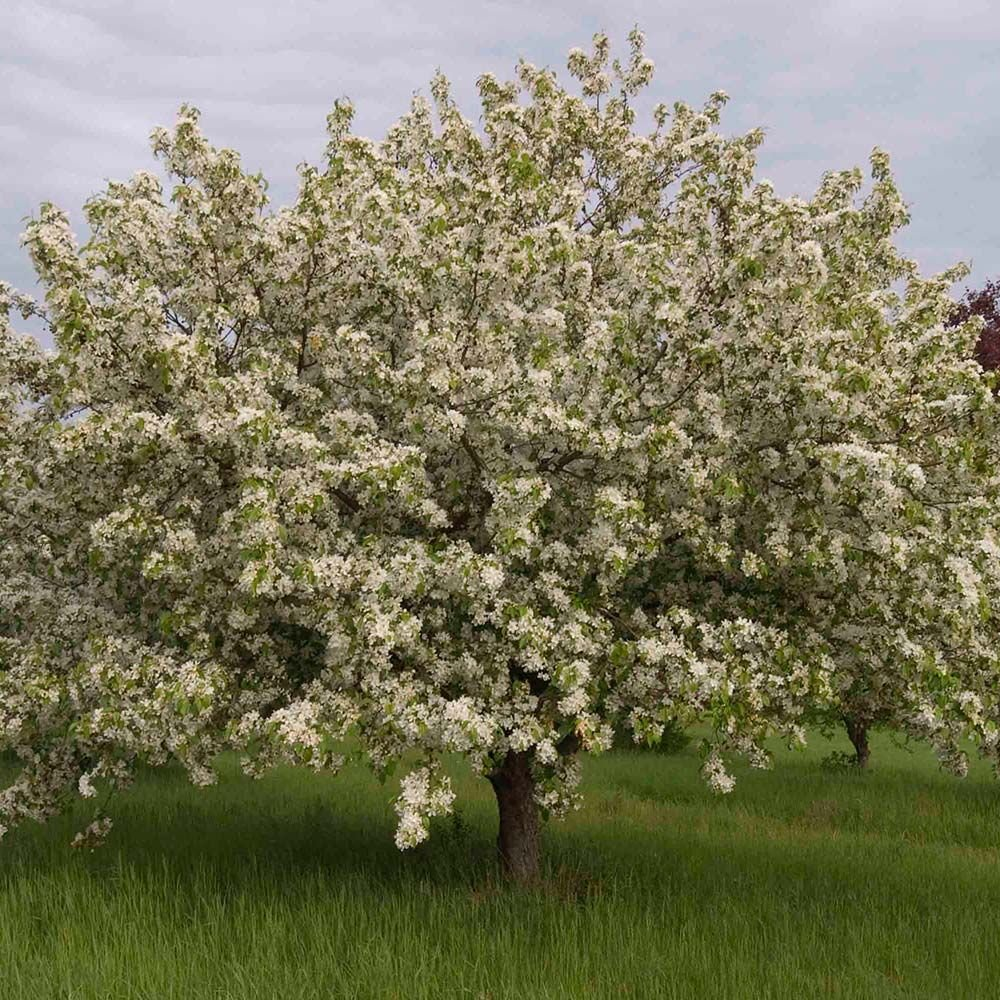 Malus Donald Wyman White Flower Farm