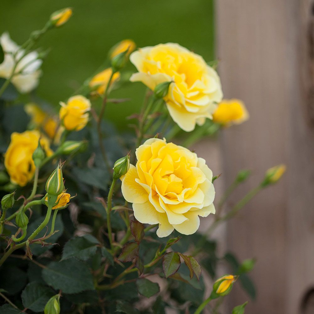 Rose Easy Elegance® Yellow Submarine