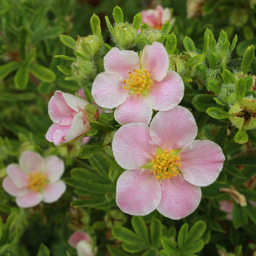 Potentilla fruticosa Happy Face® Pink Paradise