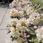 Rhododendron Scent-Sational™ White