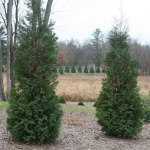 Thuja occidentalis American Pillar