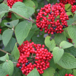 Viburnum dentatum Red Balloon™