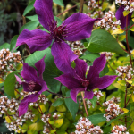 Clematis Guiding Promise™ Boulevard®