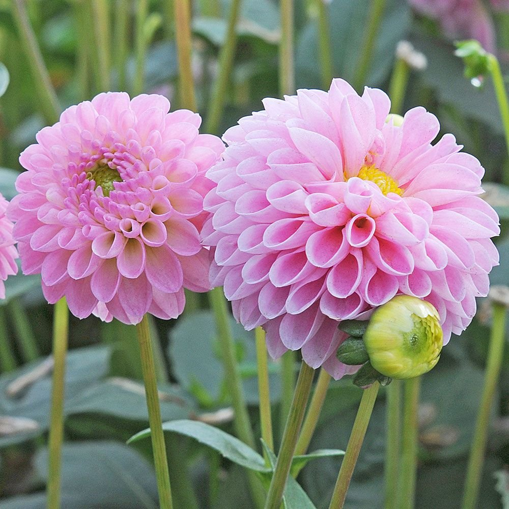 Dahlia jewel pink white flower farm dahlia jewel pink izmirmasajfo