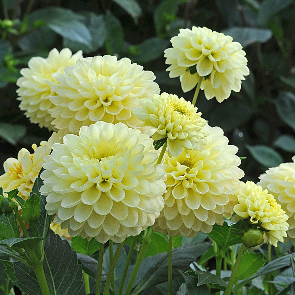 Dahlia jewel yellow white flower farm dahlia jewel yellow izmirmasajfo