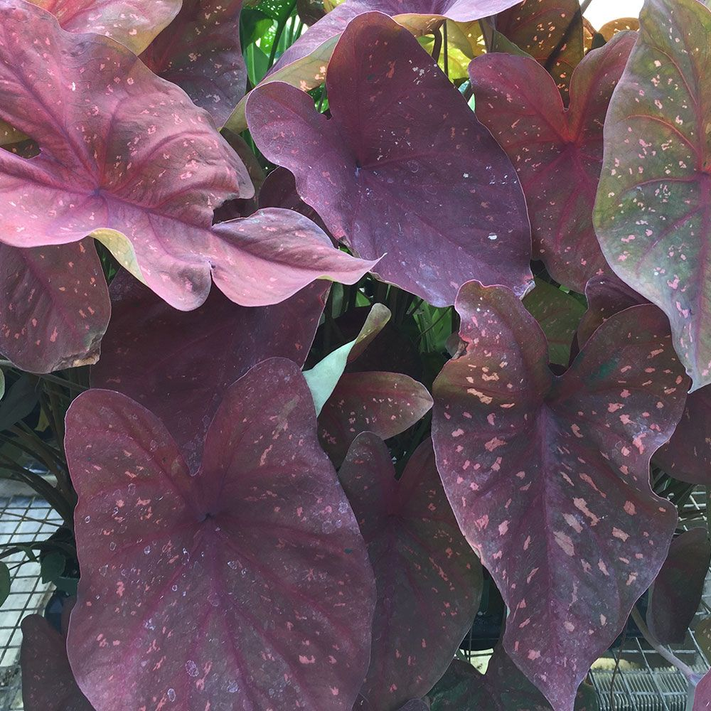 Caladium 'Burning Heart'