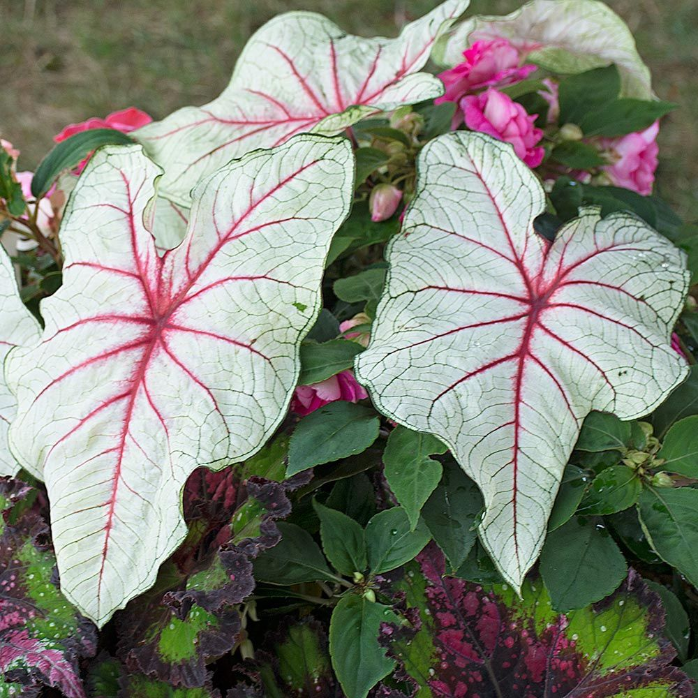 Caladium Florida Fantasy White Flower Farm