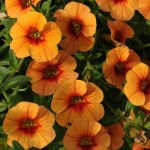 Calibrachoa Can-Can® Apricot