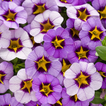 Calibrachoa Superbells® Evening Star