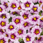 Calibrachoa Superbells® Morning Star