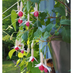 Fuchsia 'German Pearl'