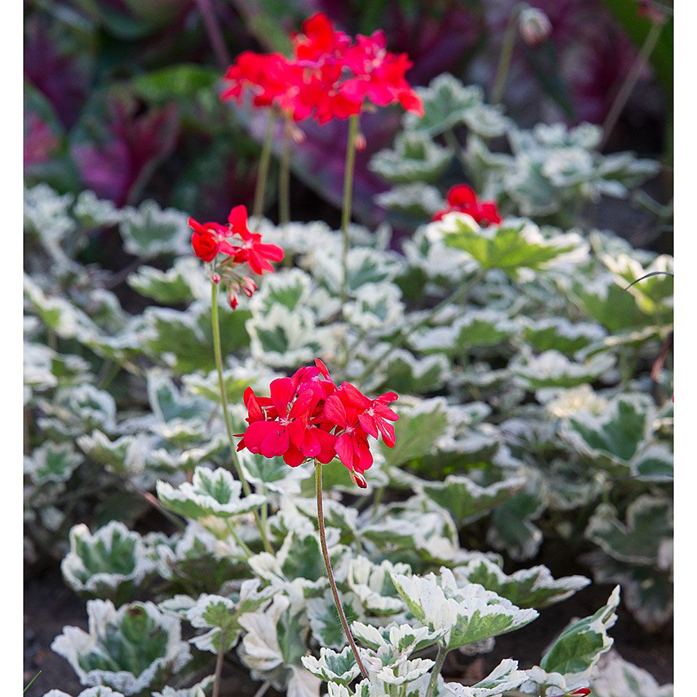 Pelargonium Glitterati™ 'Ice Queen'
