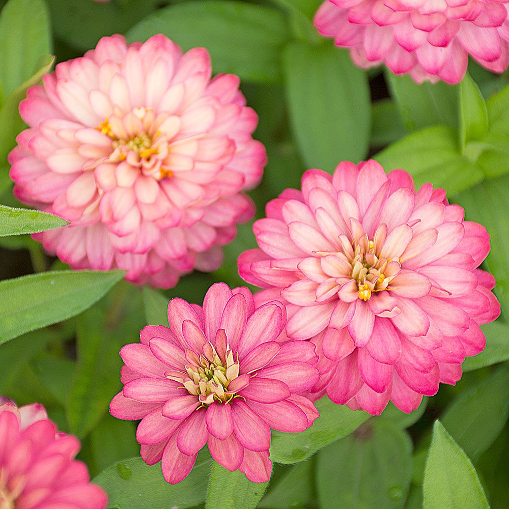 Zinnia Double Zahara® Salmon Rose