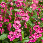 Angelonia Angelface® Perfectly Pink